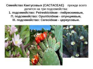 Семейство Кактусовых (САСТАСЕАЕ) прежде всего делится на три подсемейства: 1.
