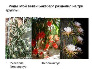 Роды этой ветви Бакеберг разделил на три группы: а) RНlPSALIDINAE Bckbg. - ри
