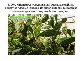2. OPUNTIOIDEAE (Опунциевые) Это подсемейство образуют плоские кактусы, из ар