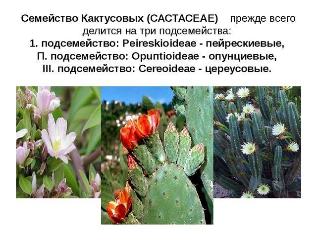 Семейство Кактусовых (САСТАСЕАЕ) прежде всего делится на три подсемейства: 1....