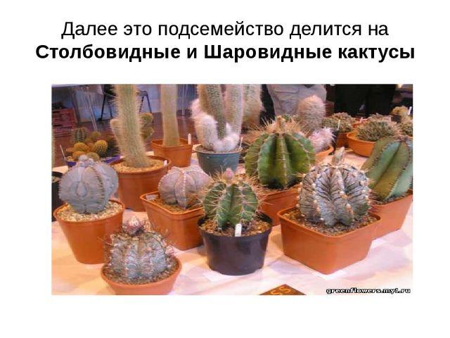 Далее это подсемейство делится на Столбовидные и Шаровидные кактусы