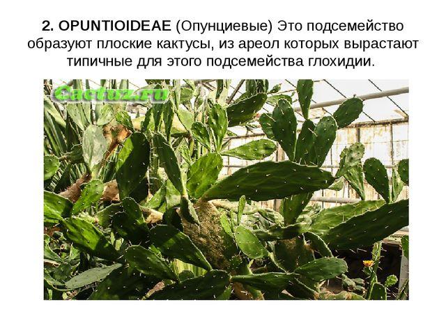 2. OPUNTIOIDEAE (Опунциевые) Это подсемейство образуют плоские кактусы, из ар...
