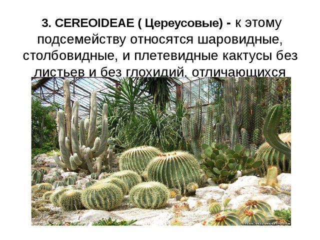 3. CEREOIDEAE ( Цереусовые) - к этому подсемейству относятся шаровидные, сто...