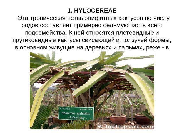 1. HYLOCEREAE Эта тропическая ветвь эпифитных кактусов по числу родов составл...
