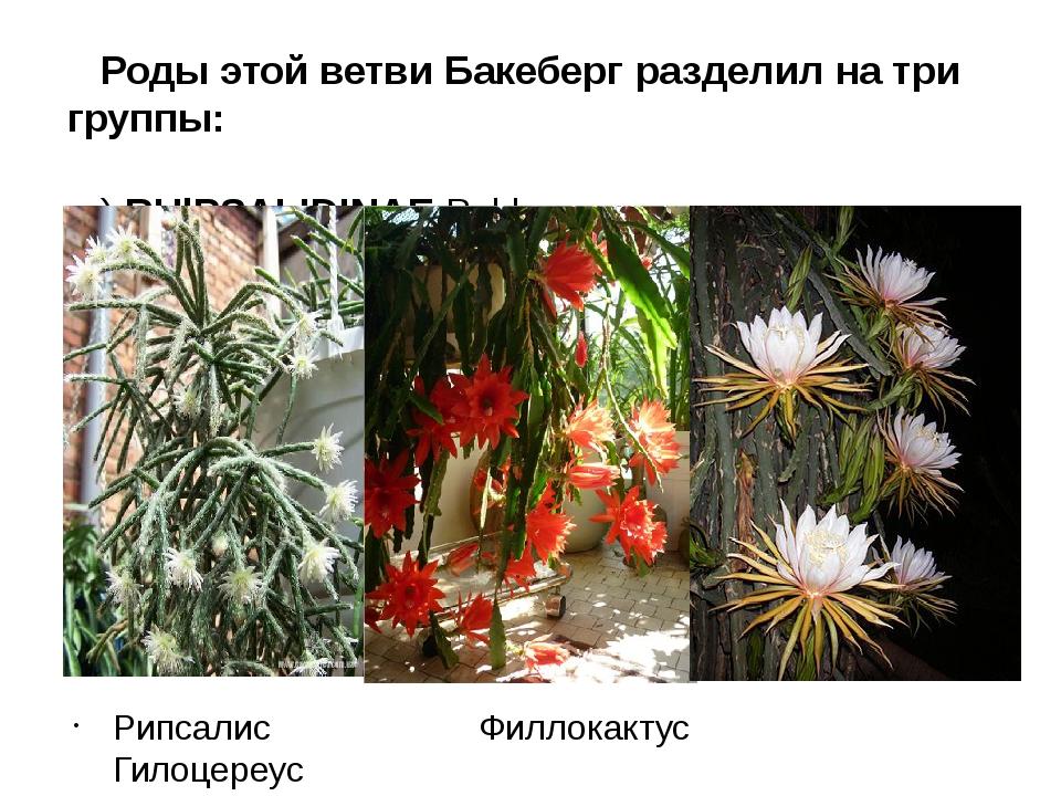 Роды этой ветви Бакеберг разделил на три группы: а) RНlPSALIDINAE Bckbg. - ри...