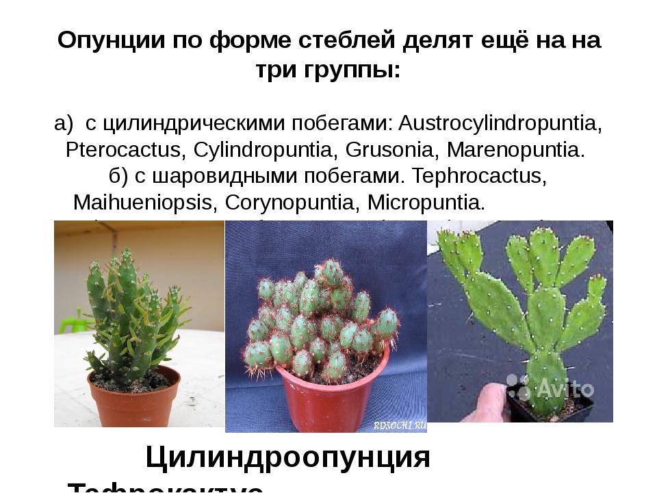 Опунции по форме стеблей делят ещё на на три группы: а) с цилиндрическими поб...