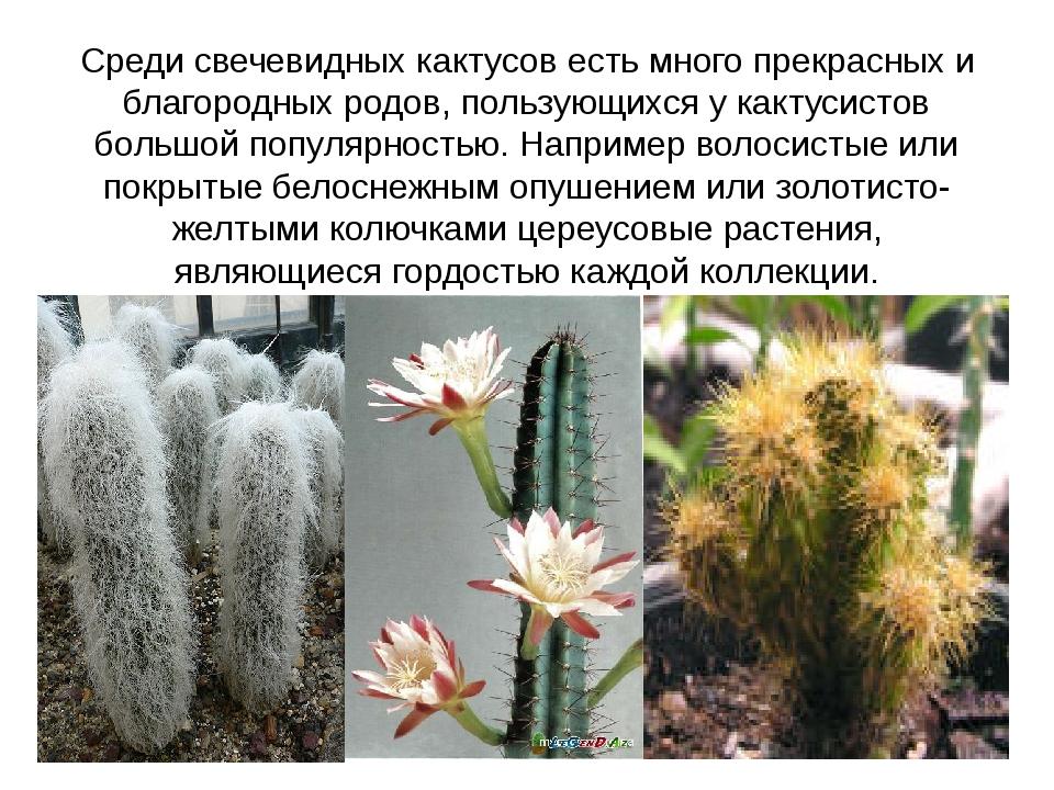 Среди свечевидных кактусов есть много прекрасных и благородных родов, пользую...