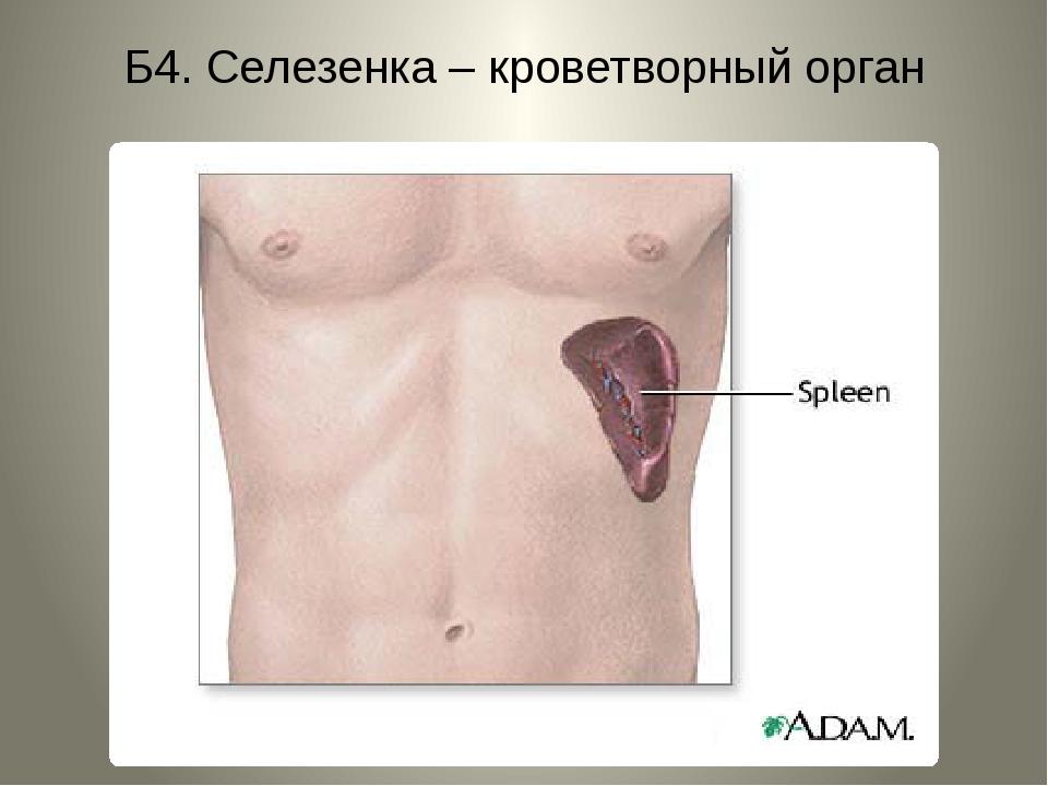 Б4. Селезенка – кроветворный орган