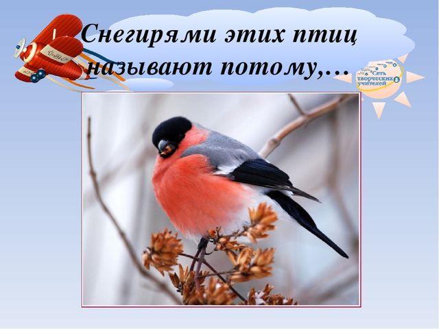 Снегирями этих птиц называют потому,…