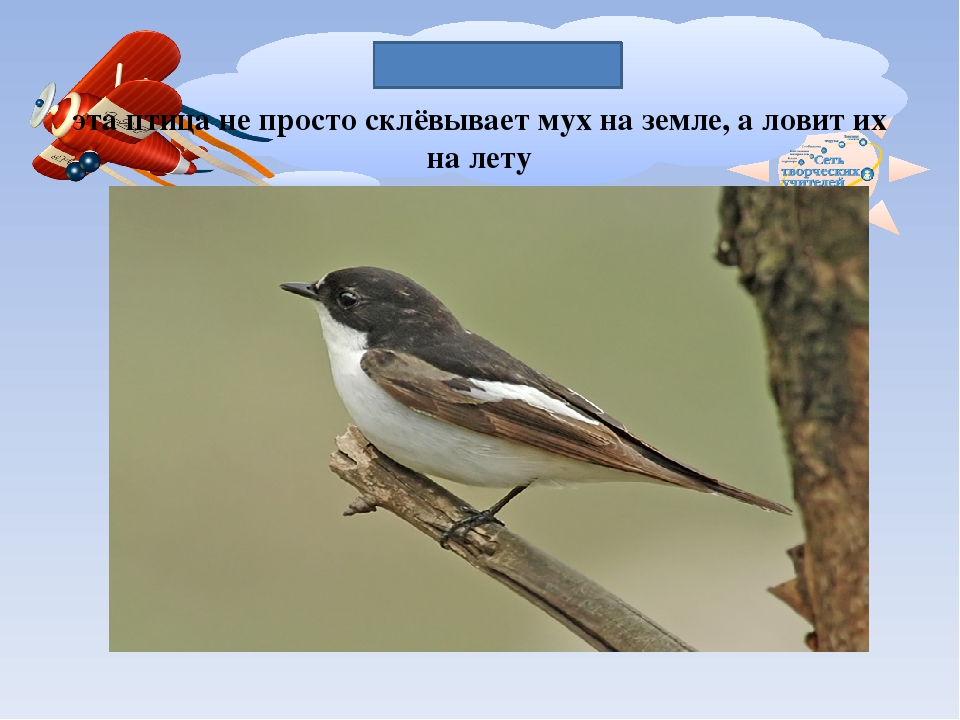 МУХОЛОВКА эта птица не просто склёвывает мух на земле, а ловит их на лету