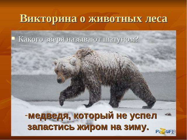 Викторина о животных леса Какого зверя называют шатуном? медведя, который не...