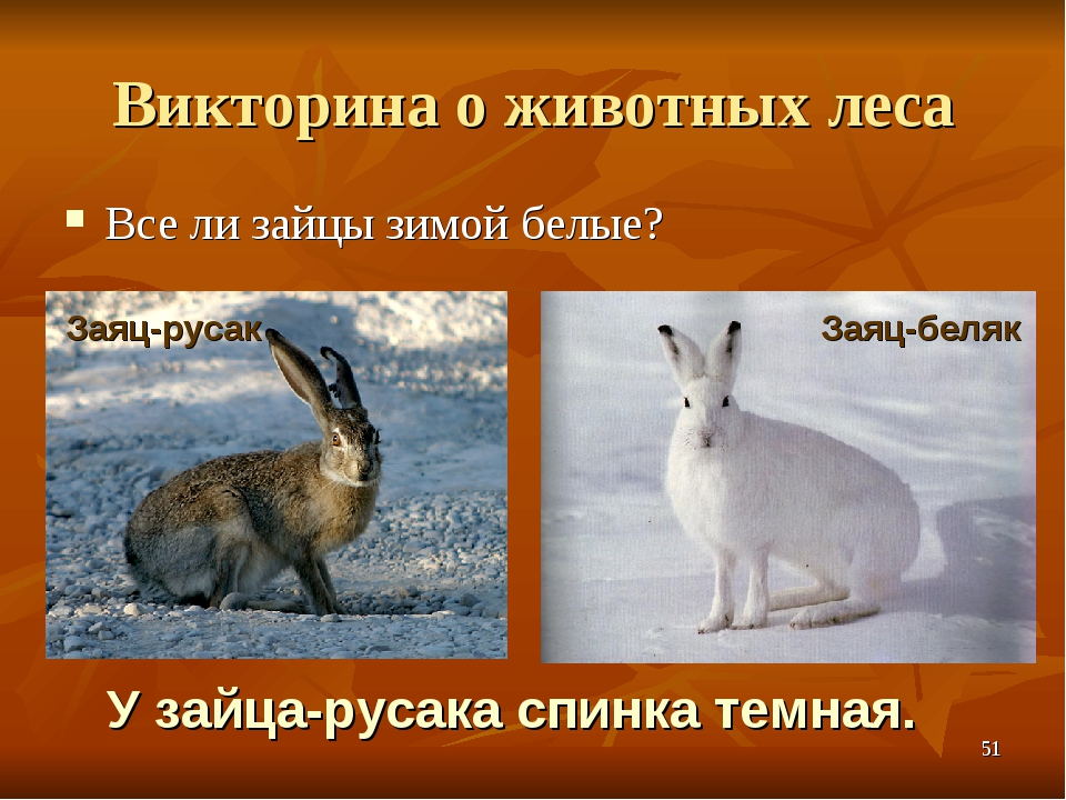 Викторина о животных леса Все ли зайцы зимой белые? У зайца-русака спинка тем...
