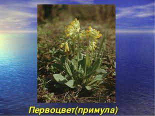 Первоцвет(примула)