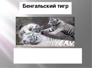 Бенгальский тигр Однако, белый тигр из Индии, и красивый белый мех не имеет н