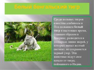 Белый бенгальский тигр Среди вольных тигров известны альбиносы и Под название