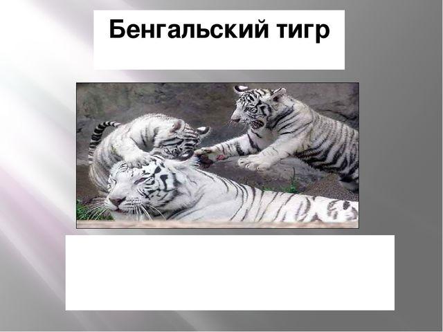 Бенгальский тигр Однако, белый тигр из Индии, и красивый белый мех не имеет н...