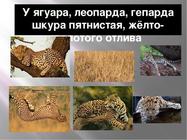 У ягуара, леопарда, гепарда шкура пятнистая, жёлто-золотого отлива