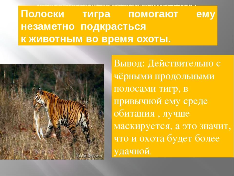 полоски тигра помогают ему незаметно подкрасться к животным во время охоты....