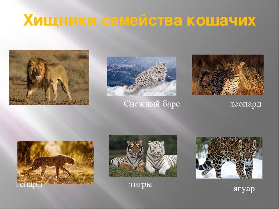 Хищники семейства кошачих гепард леопард ягуар Снежный барс лев тигры