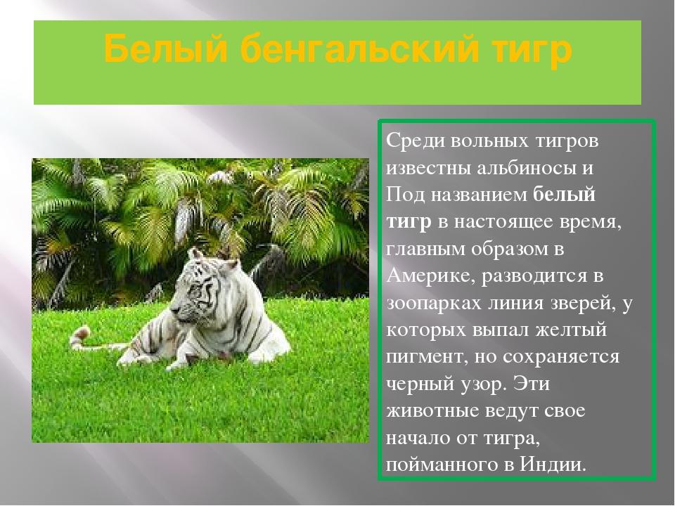 Белый бенгальский тигр Среди вольных тигров известны альбиносы и Под название...