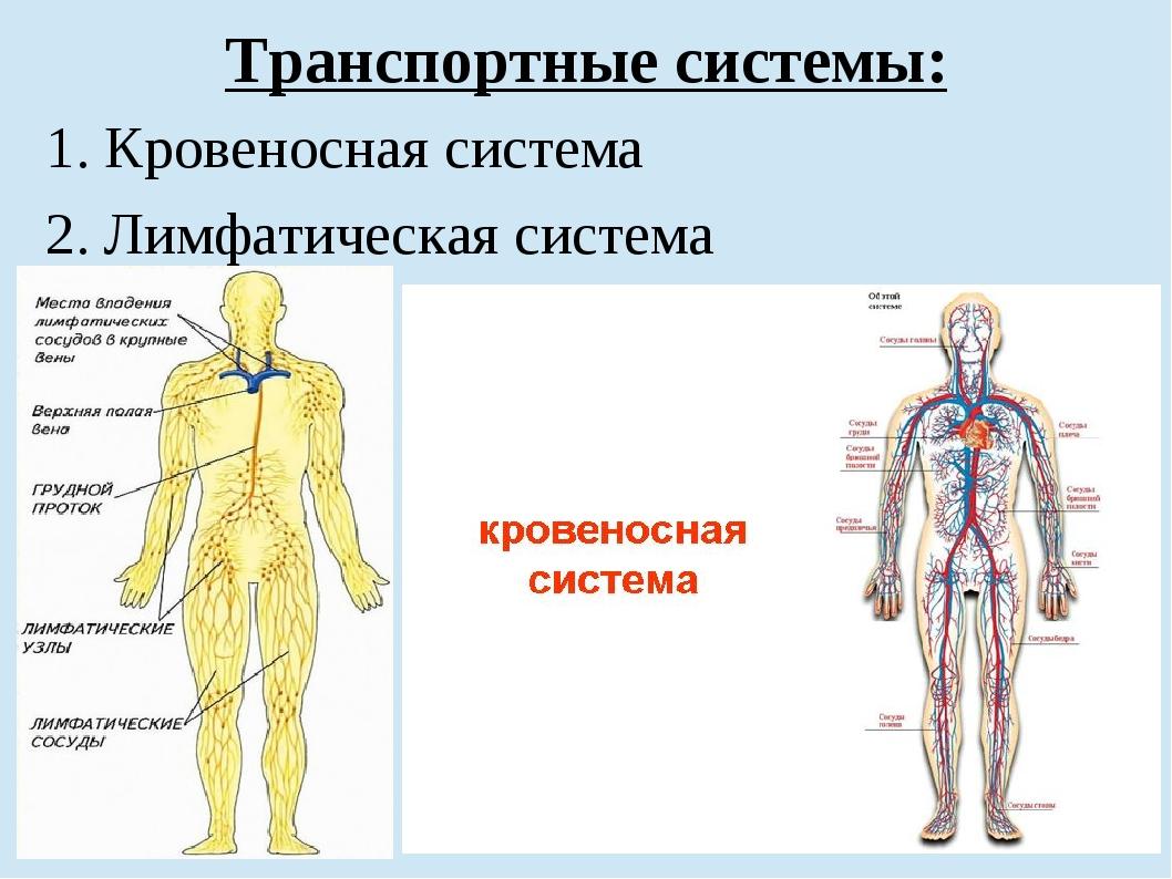 Транспортные системы: 1. Кровеносная система 2. Лимфатическая система