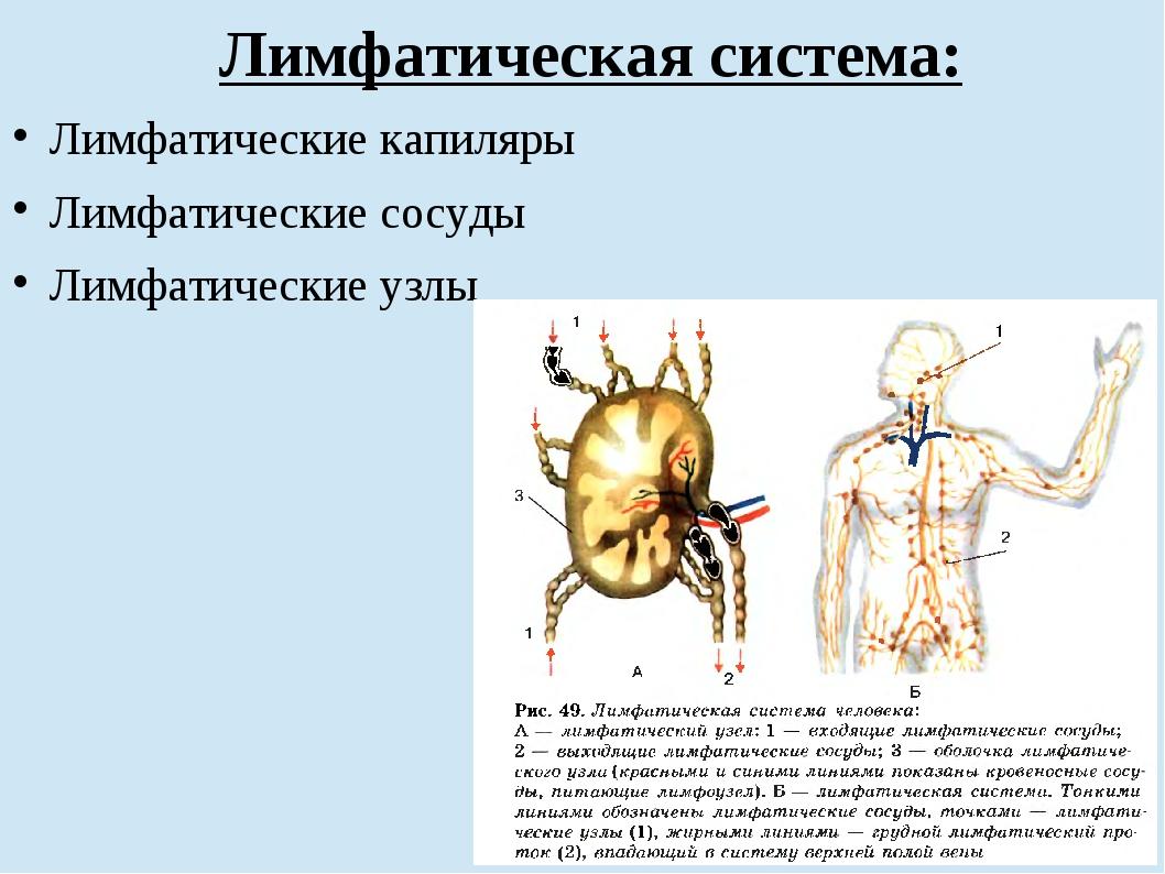 Лимфатическая система: Лимфатические капиляры Лимфатические сосуды Лимфатичес...