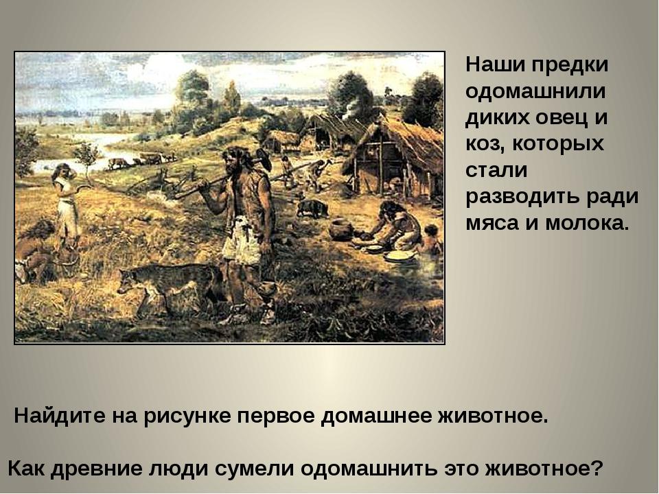 Наши предки одомашнили диких овец и коз, которых стали разводить ради мяса и...