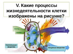 V. Какие процессы жизнедеятельности клетки изображены на рисунке?