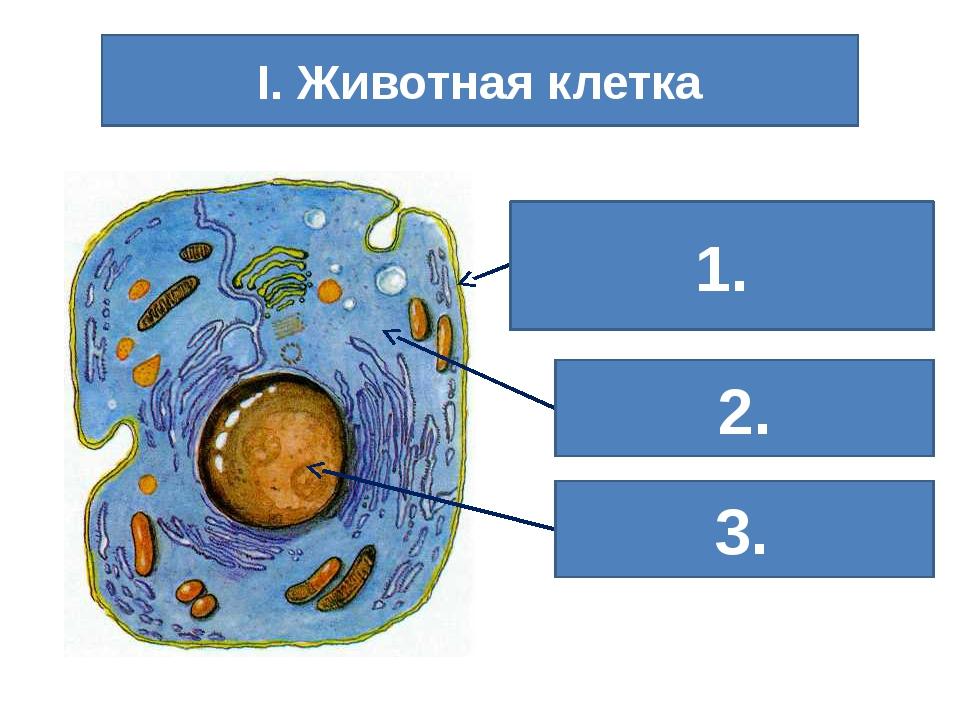 Клеточная (цитоплазматическая) мембрана Ядро Цитоплазма I. Животная клетка 1....