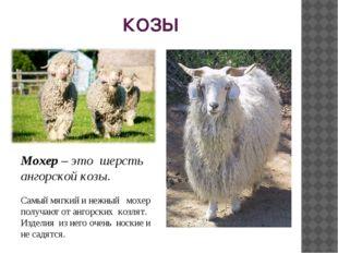 КОЗЫ Мохер – это шерсть ангорской козы. Самый мягкий и нежный мохер получают