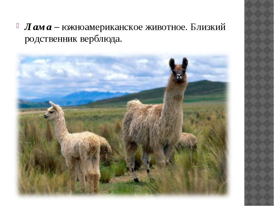 Лама – южноамериканское животное. Близкий родственник верблюда.