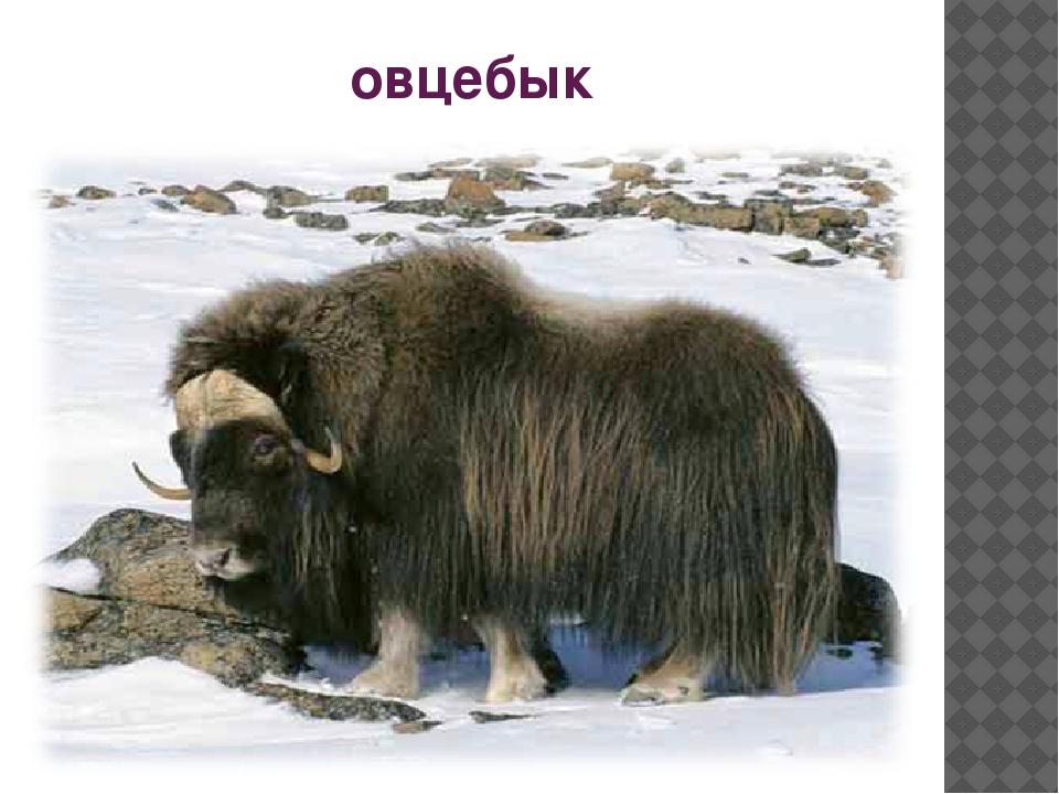овцебык
