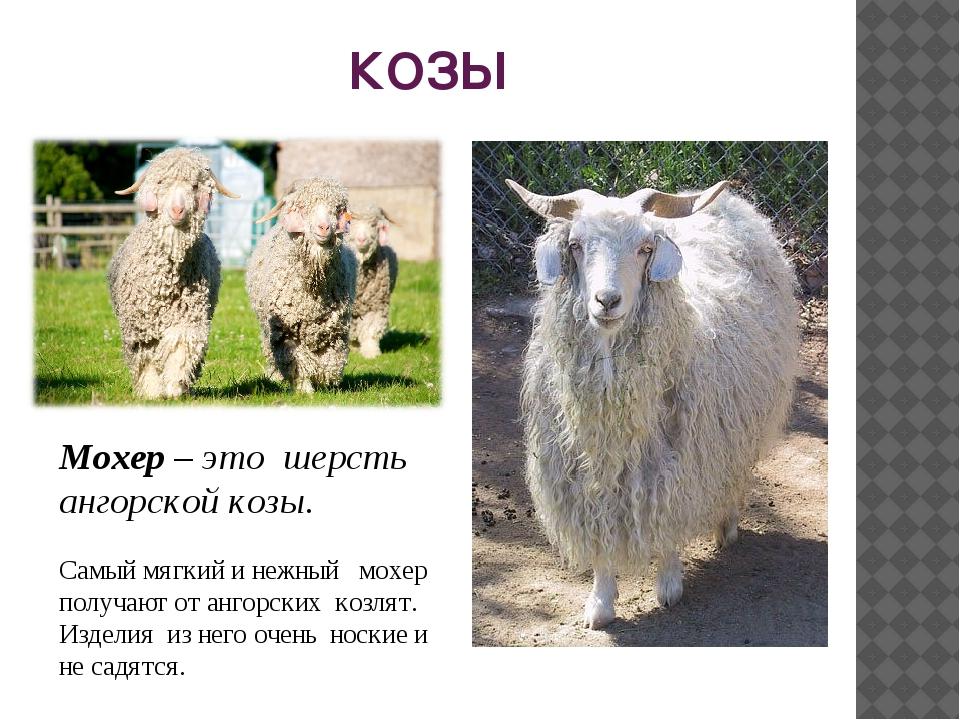 КОЗЫ Мохер – это шерсть ангорской козы. Самый мягкий и нежный мохер получают...