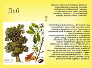 Дуб Светолюбивы, требовательны к богатству почвы, ветроустойчивы, засухоустой