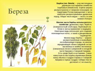 Береза Многие части берёзы используются в хозяйстве: древесина, кора, берёста