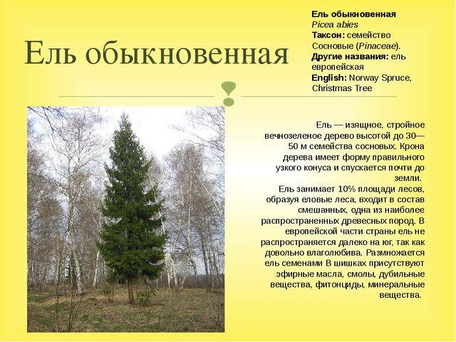 Ель обыкновенная Ель— изящное, стройное вечнозеленое дерево высотой до 30—50...