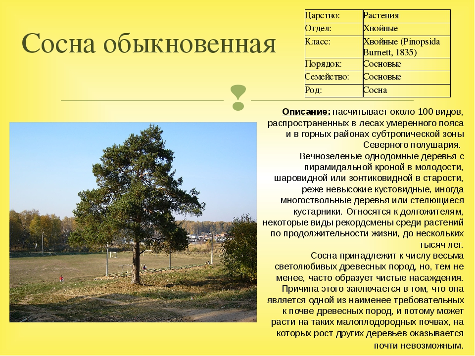 Сосна обыкновенная Описание:насчитывает около 100 видов, распространенных в...