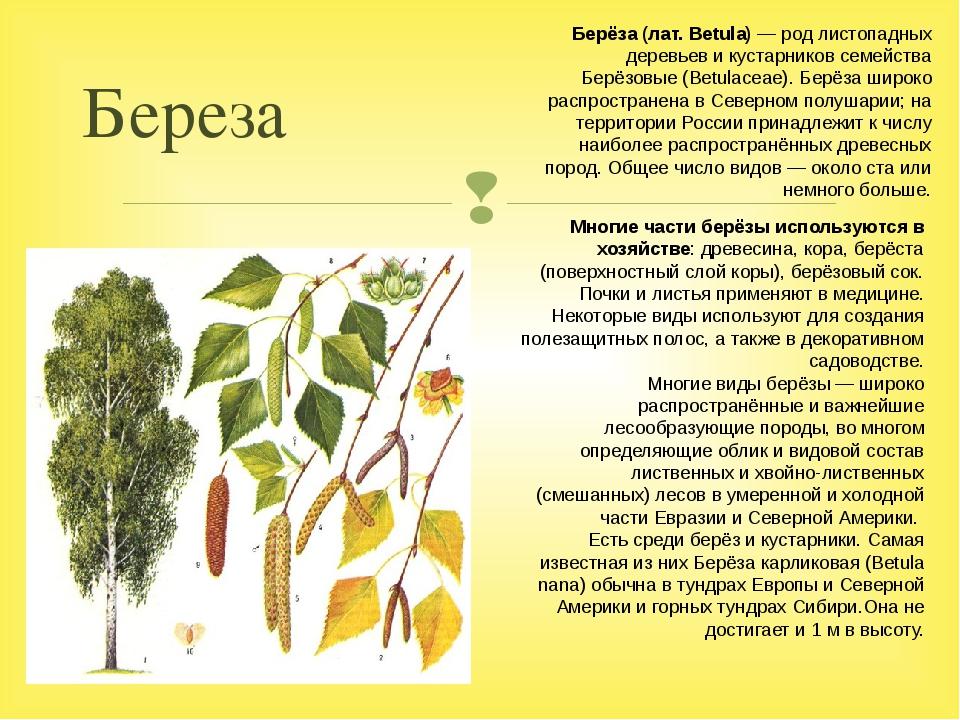Береза Многие части берёзы используются в хозяйстве: древесина, кора, берёста...