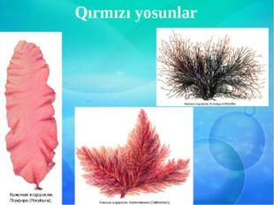 Qırmızı yosunlar