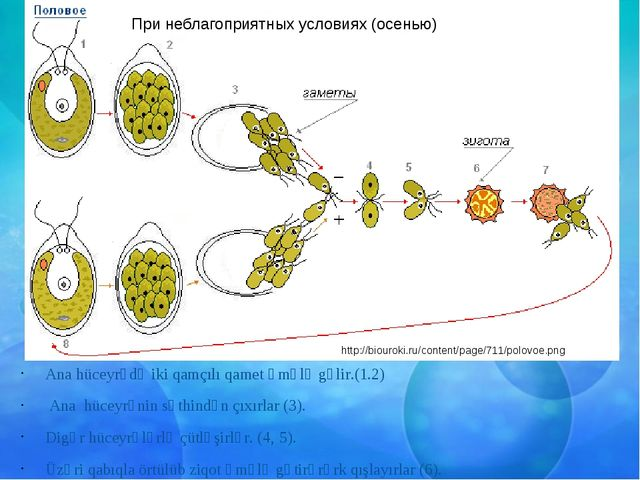 Ana hüceyrədə iki qamçılı qamet əmələ gəlir.(1.2) Ana hüceyrənin səthindən ç...
