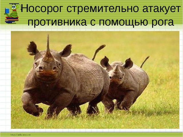 Носорог стремительно атакует противника с помощью рога