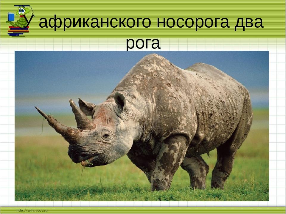 У африканского носорога два рога