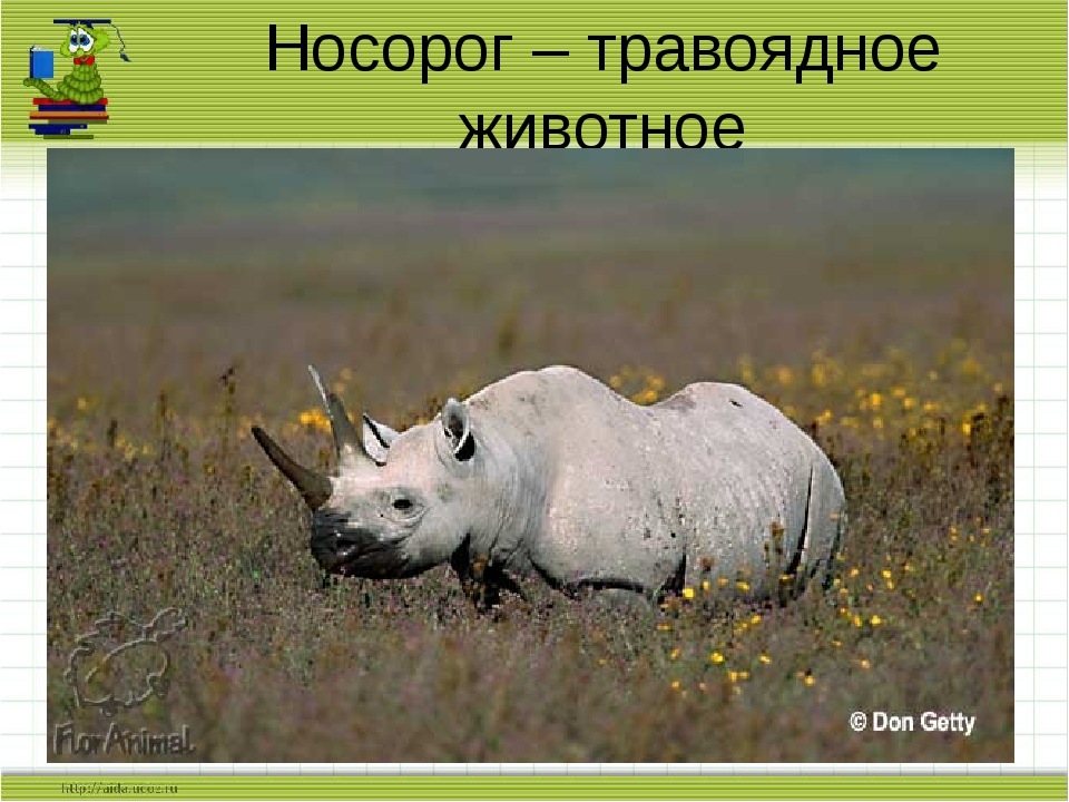 Носорог – травоядное животное