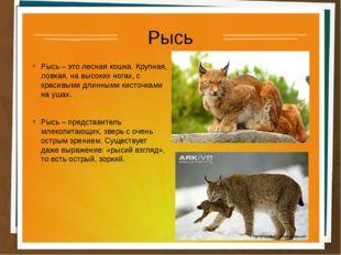 Рысь Рысь – это лесная кошка. Крупная, ловкая, на высоких ногах, с красивыми