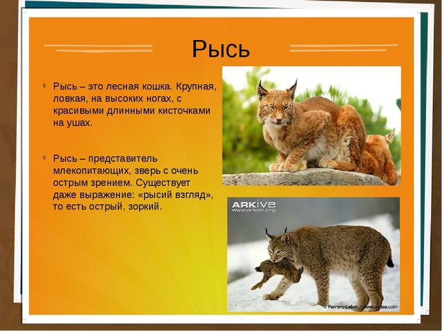 Рысь Рысь – это лесная кошка. Крупная, ловкая, на высоких ногах, с красивыми...