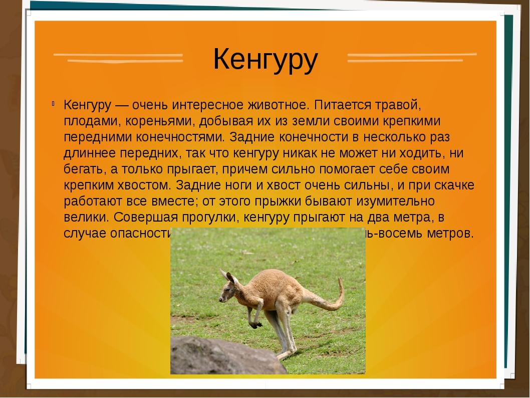 Кенгуру Кенгуру — очень интересное животное. Питается травой, плодами, корень...