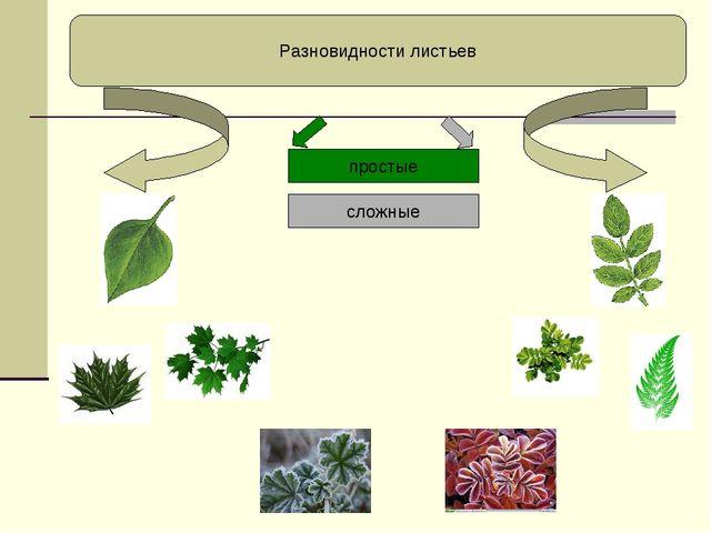 Разновидности листьев простые сложные