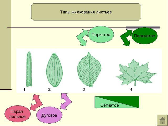 Парал- лельное Дуговое Перистое Пальчатое Типы жилкования листьев Сетчатое