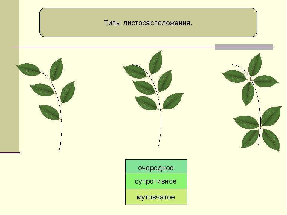 Типы листорасположения. очередное супротивное мутовчатое