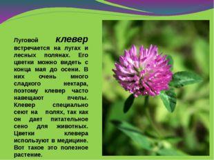 Луговой клевер встречается на лугах и лесных полянах. Его цветки можно видеть